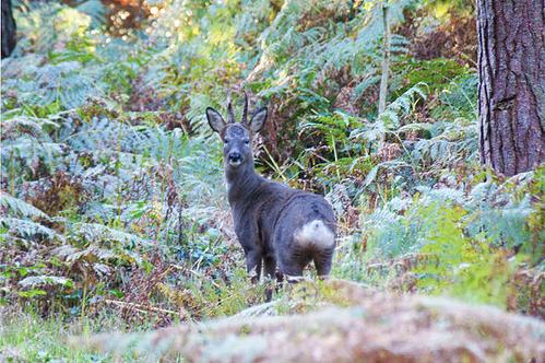 Roe buck in woodland